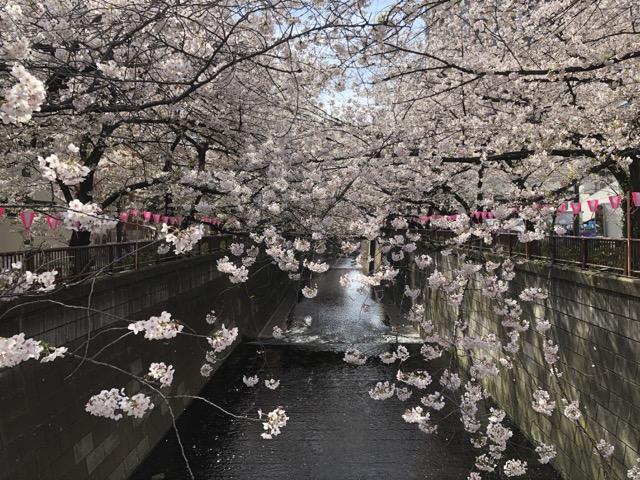 sakura japan tokyo 2019