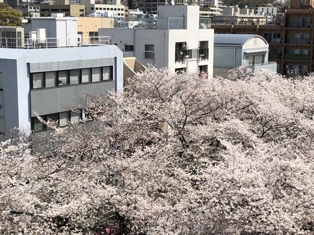 sakura japan tokyo 2019 birdeye view