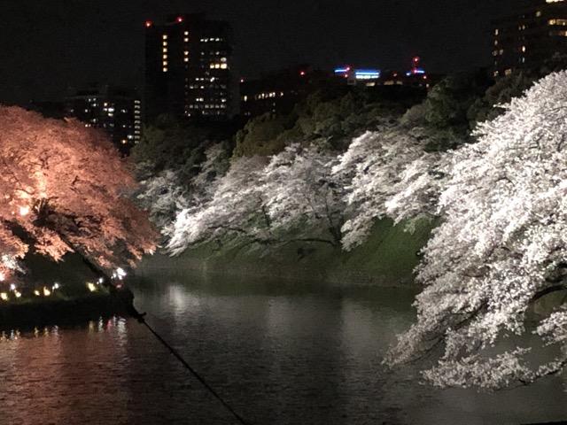 sakura japan tokyo 2019 night